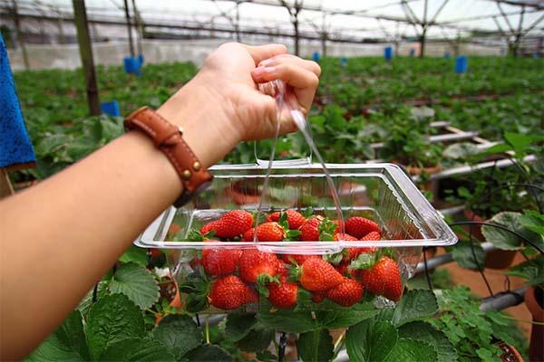 Strawberry-Farm-3