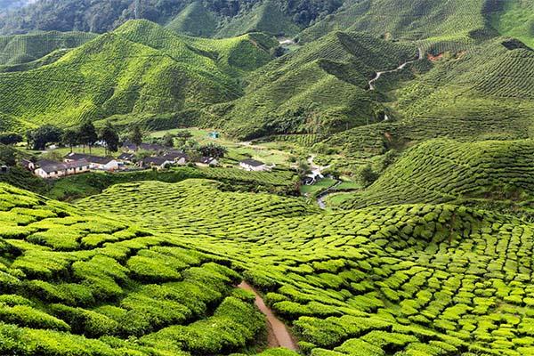BOH Tea Plantation 3