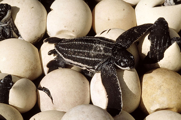 Turtle-Lay-Eggs_4
